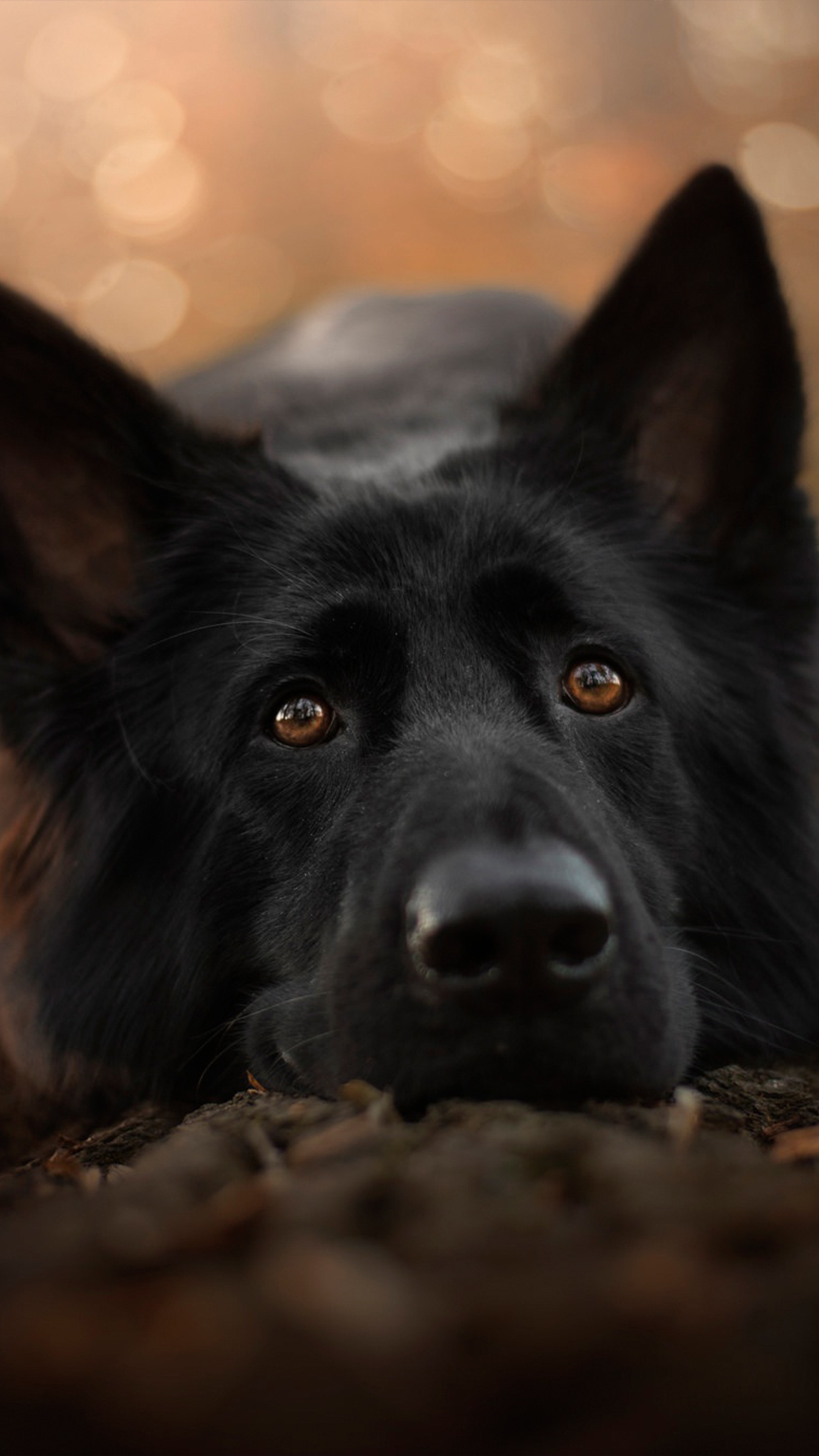 German Shepherd Black Pet Dog 4k Ultra Hd Mobile Wallpaper