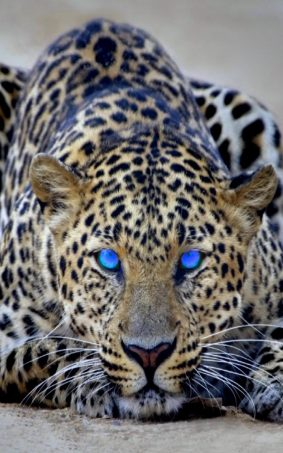 cheetah blue eyes