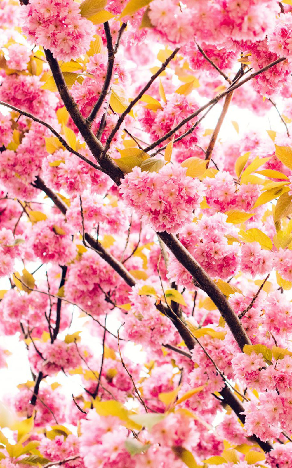Beautiful Cherry Flowers Download Free Hd Mobile Wallpapers