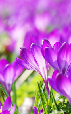 Beautiful Purple Crocus Flowers Mobile Wallpaper Preview