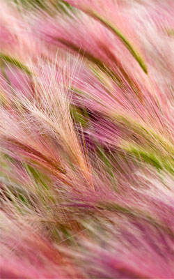 Pink Foxtail Barley Mobile Wallpaper Preview