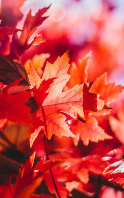 Red Foliage Leaves Mobile Wallpaper Preview