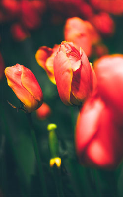 Tulips Mobile Wallpaper Preview