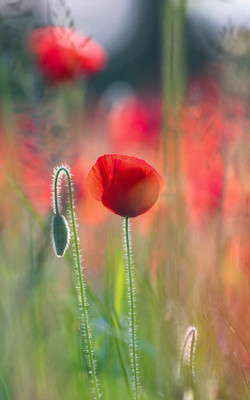 Beautiful Red Poppies Mobile Wallpaper Preview