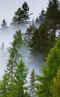 Deep Forest Mist Rainy Day Mobile Wallpaper Preview