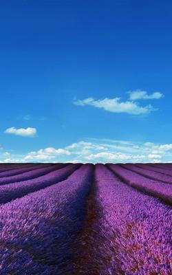 Purple Lavender Fields Mobile Wallpaper Preview