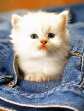 Adorable Innocent White Kitten HD Mobile Wallpaper Preview