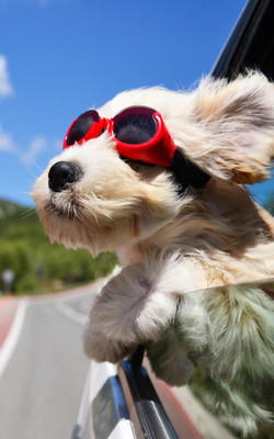 Dog Enjoying Wind Outside Car Window HD Mobile Wallpaper Preview