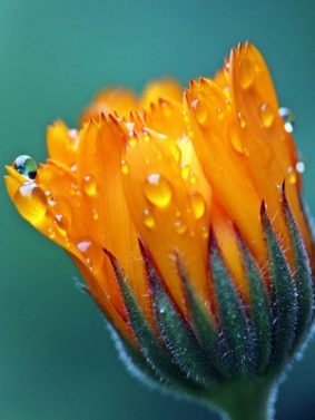 Water Drops On Salendula Marigold HD Mobile Wallpaper Preview