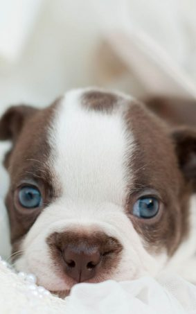 Cute Bulldog Puppy HD Mobile Wallpaper