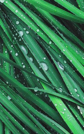 Grass Dew Drops HD Mobile Wallpaper