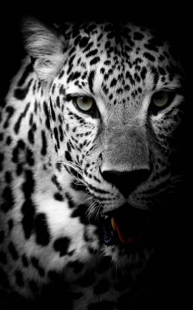 Leopard Black & White HD Mobile Wallpaper