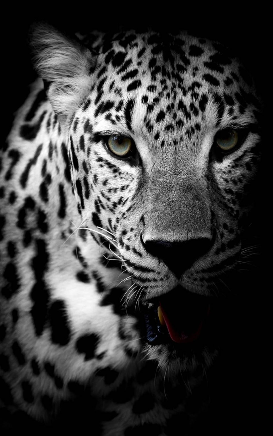 Leopard Black White 4k Ultra Hd Mobile Wallpaper