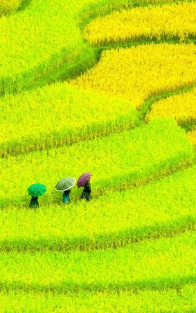 Awesome Asian Paddy Field HD Mobile Wallpaper