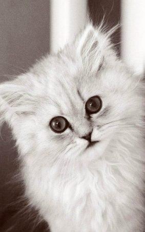 Cute Fluffy Kitten HD Mobile Wallpaper