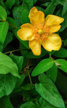 Yellow Anemone Flower HD Mobile Wallpaper