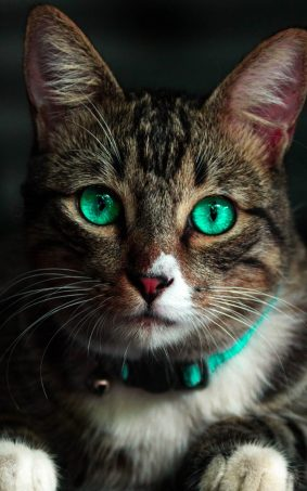 Green Eyed Cat HD Mobile Wallpaper