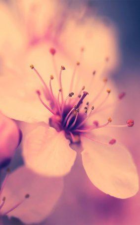 Cherry Blossom HD Mobile Wallpaper