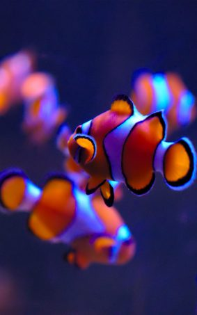 Clown Fishes HD Mobile Wallpaper