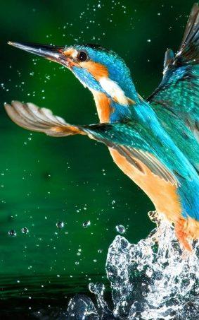 Kingfisher Bird HD Mobile Wallpaper