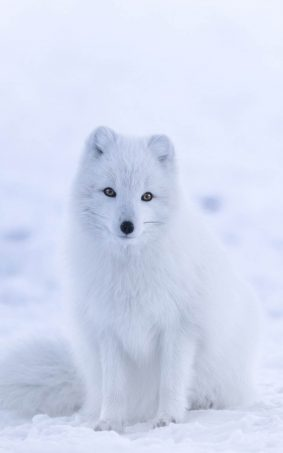 Cute White Arctic Fox HD Mobile Wallpaper
