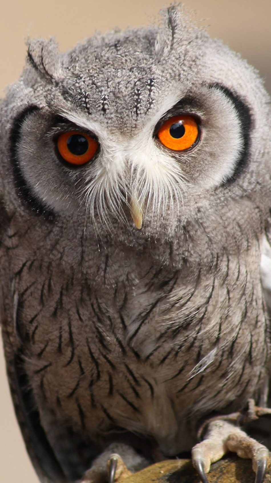 Staring Owl Free 4k Ultra Hd Mobile Wallpaper