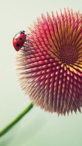 Ladybug On Pencil Flower HD Mobile Wallpaper