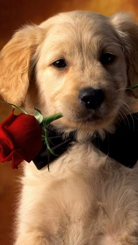 Valentine Dog With Red Rose HD Mobile Wallpaper
