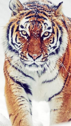 Siberian Tiger Winter Snowfall HD Mobile Wallpaper