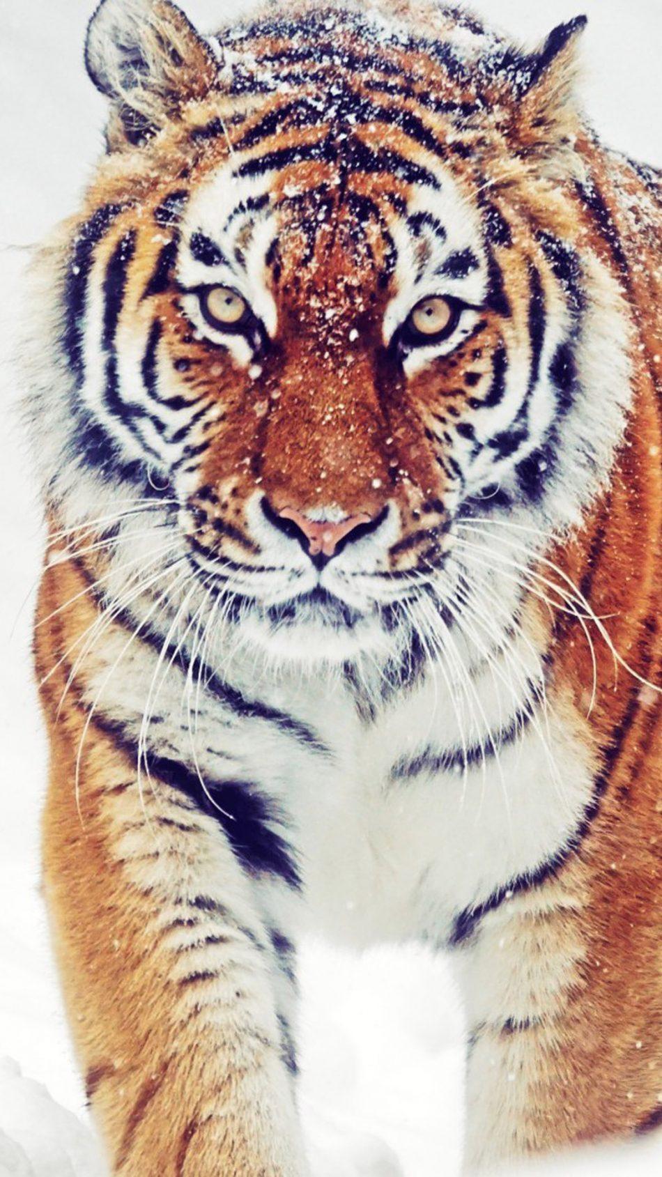 Download Siberian Tiger Winter Snowfall Free Pure 4k Ultra Hd Mobile