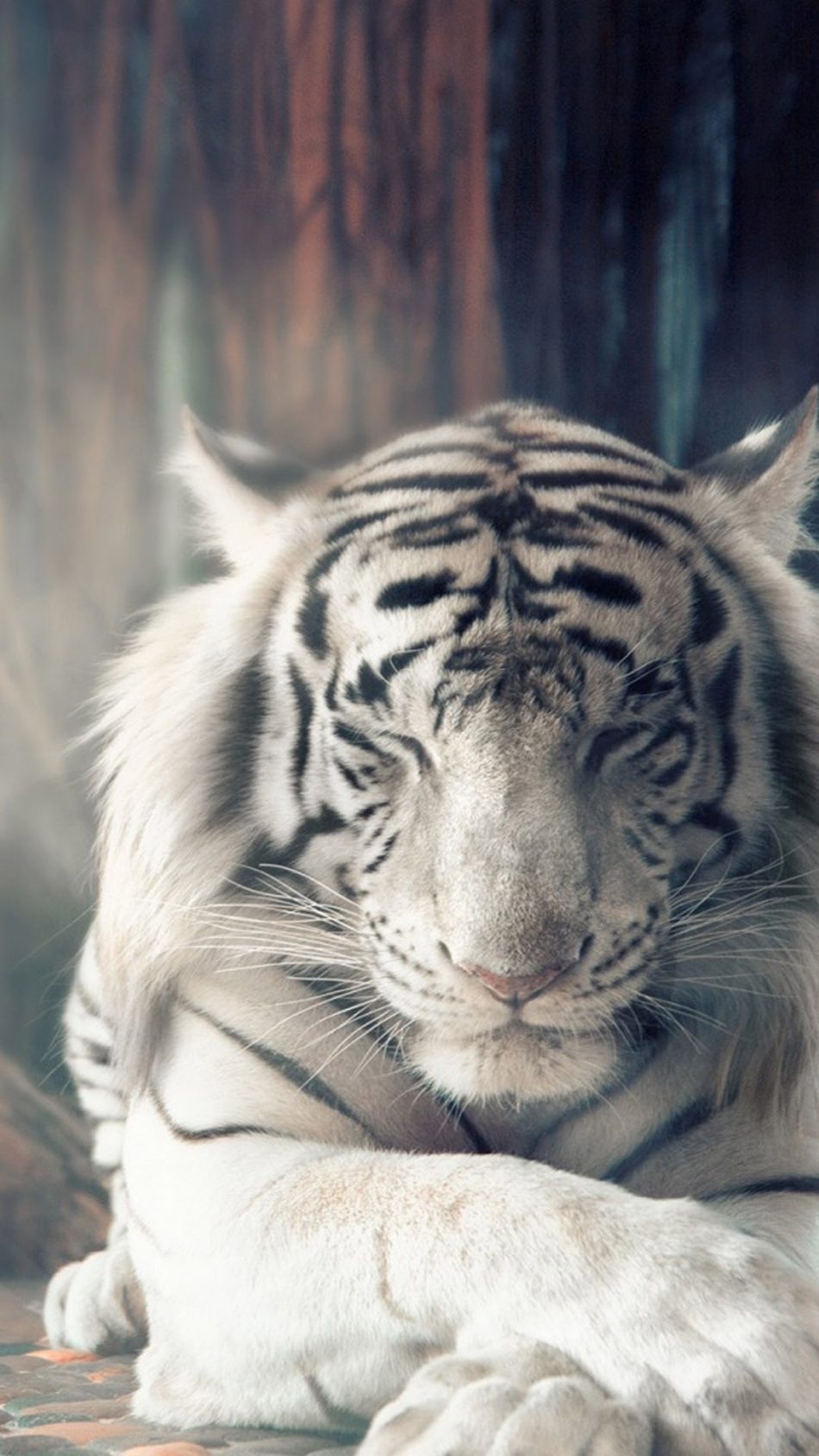 White Tiger Autumn Sunlight HD Mobile Wallpaper