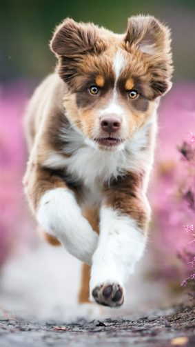 Australian Shepherd Puppy 4K Ultra HD Mobile Wallpaper