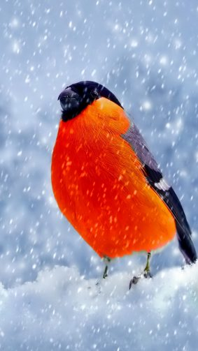Bullfinch Bird Winter Snow 4K Ultra HD Mobile Wallpaper