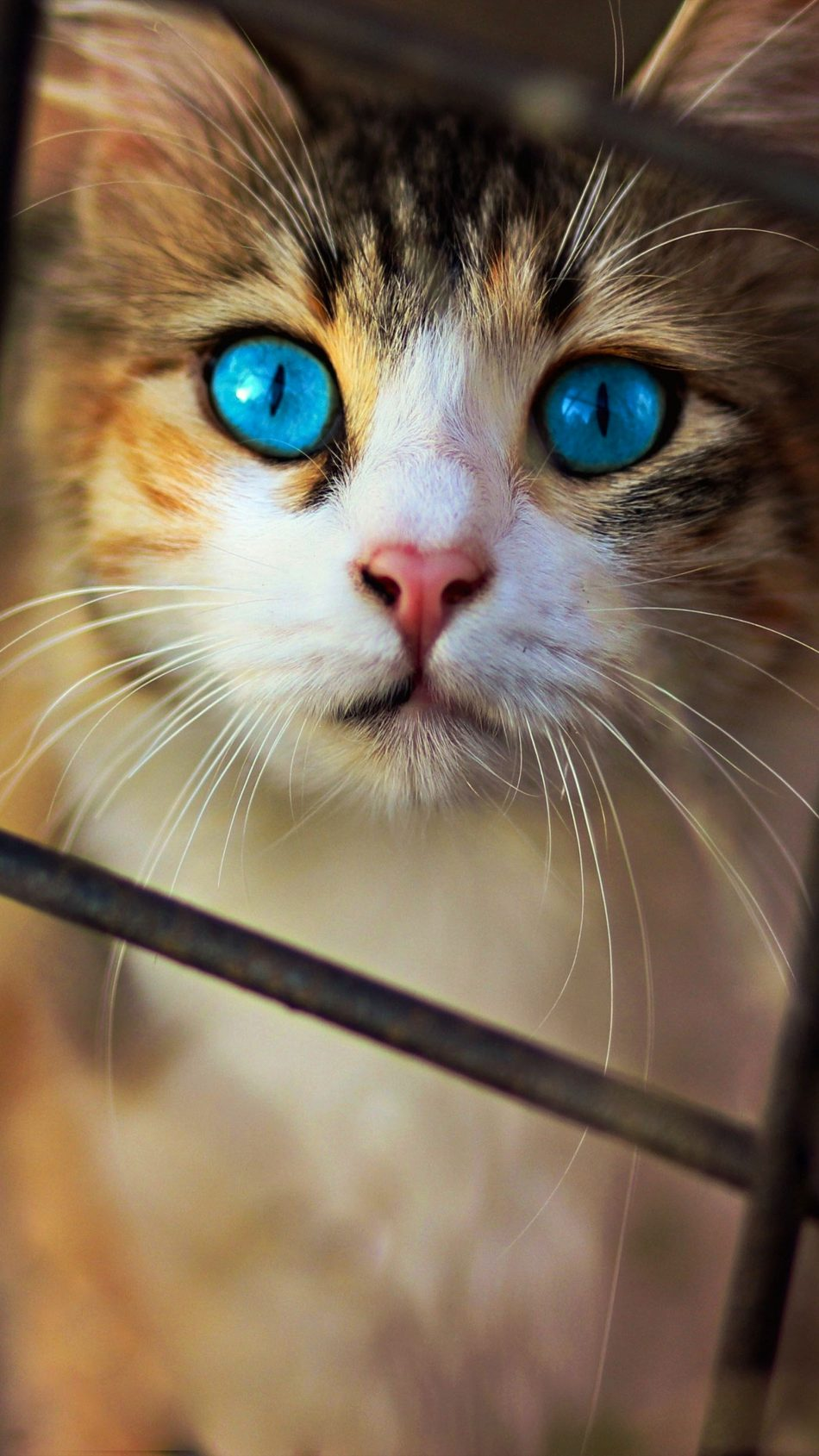 Cute Cat Blue Eyes 4k Ultra Hd Mobile Wallpaper