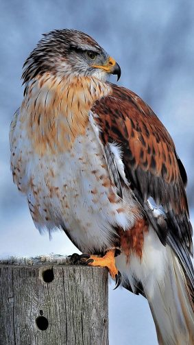 Ferruginous Hawk Winter Snow 4K Ultra HD Mobile Wallpaper