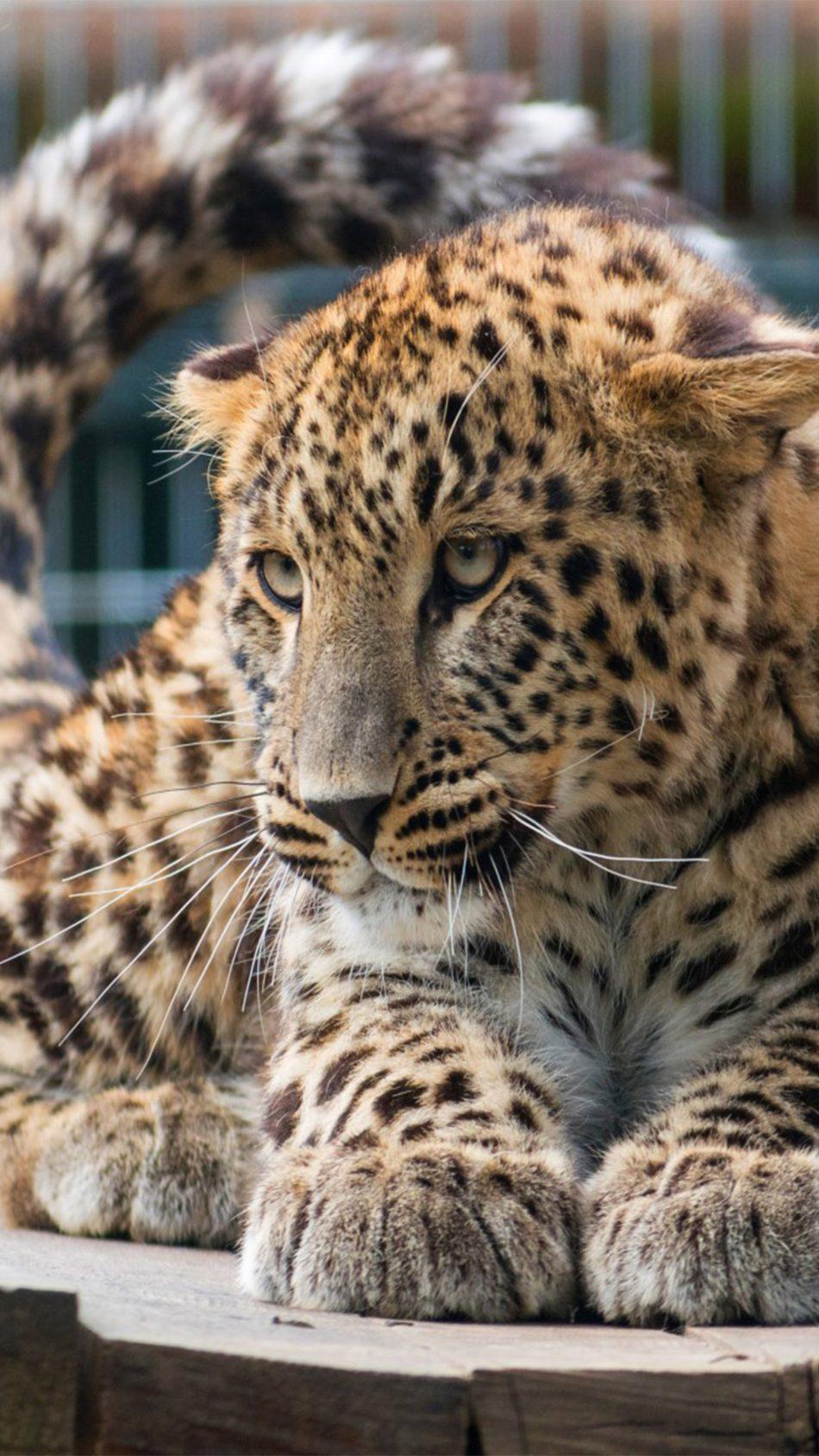 Leopard Big Cat Relax 4K Ultra HD Mobile Wallpaper
