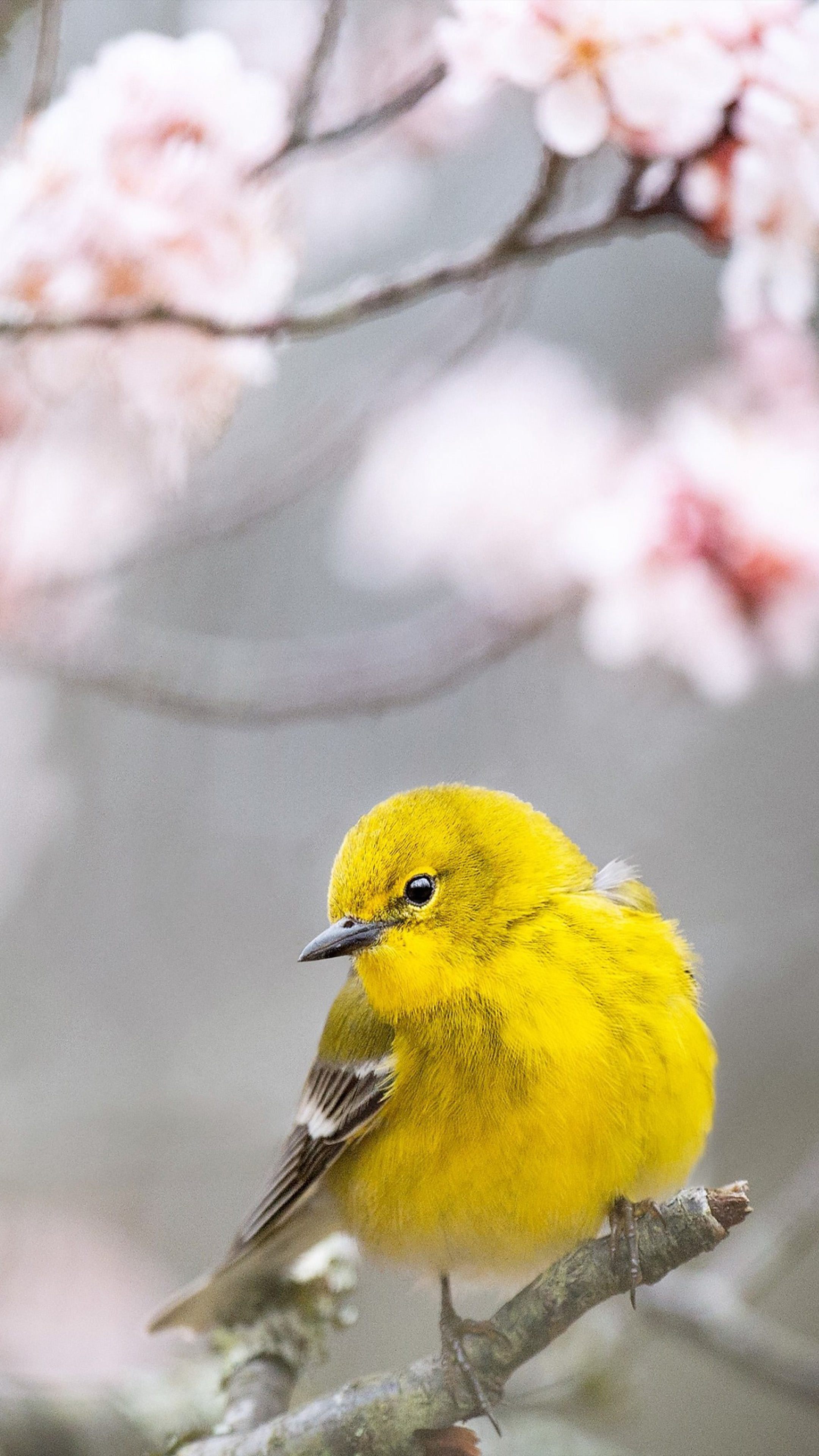 Pine Warbler Yellow Bird 4k Ultra Hd Mobile Wallpaper