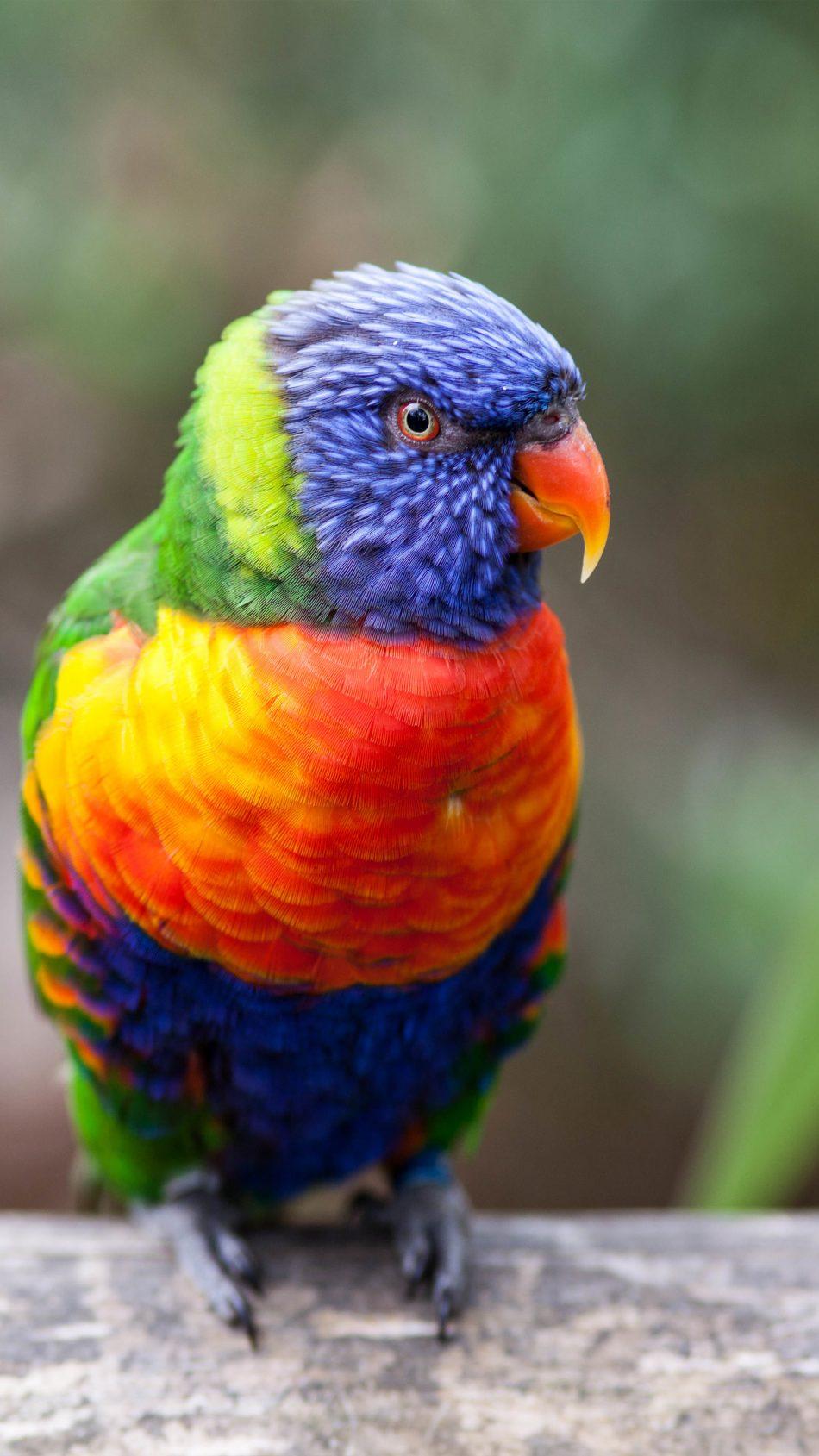 Rainbow Lorikeet Parrot 4K Ultra HD Mobile Wallpaper