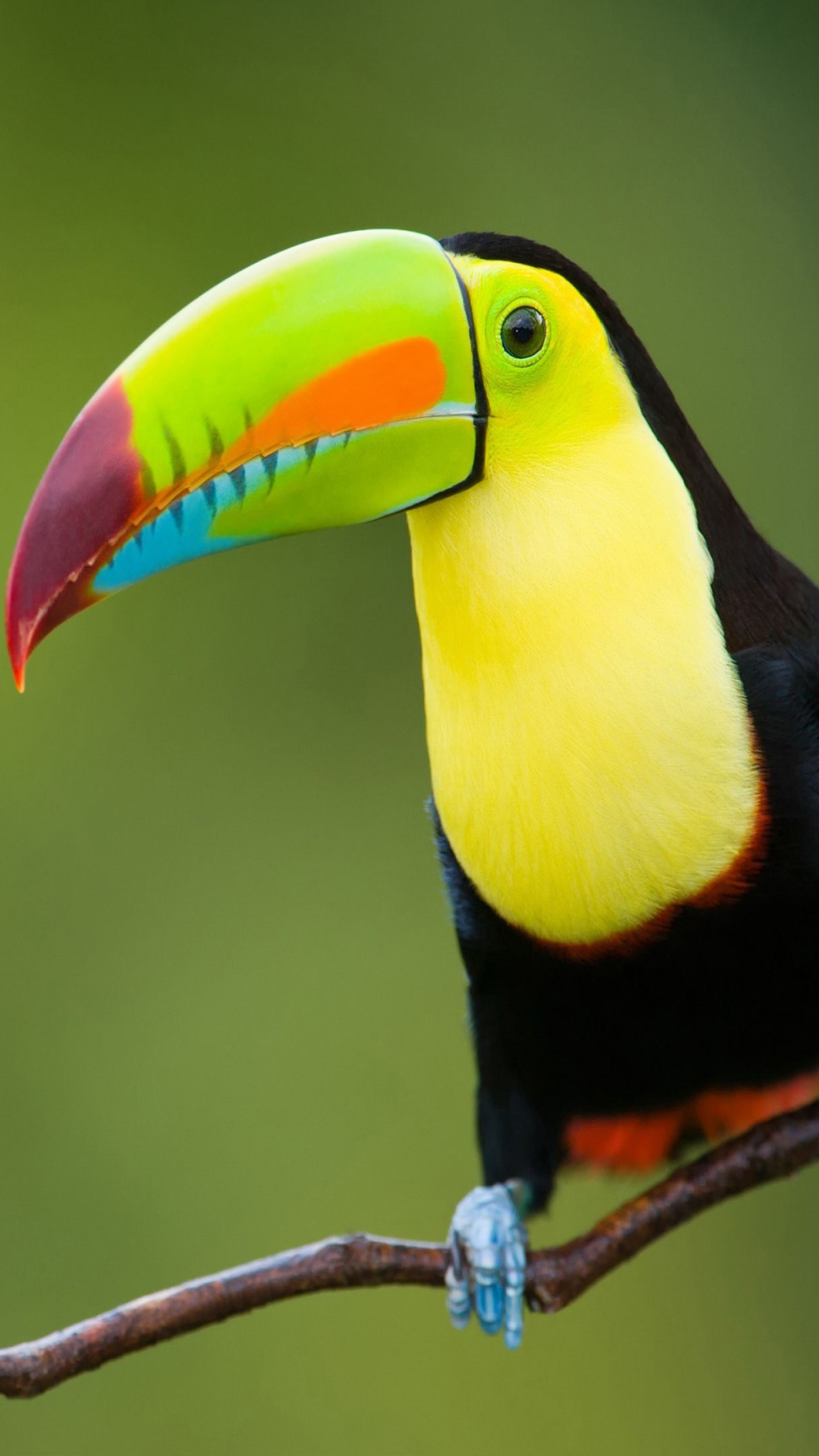 Toucan Bird 4k Ultra Hd Mobile Wallpaper