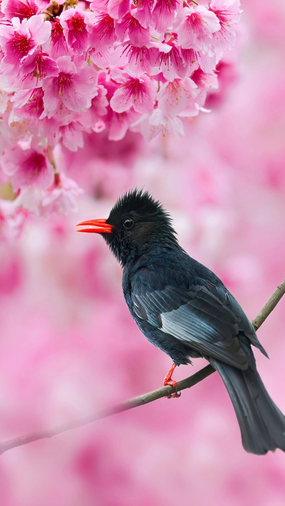 Black Bulbul Sakura Tree Pink Flowers 4K Ultra HD Mobile Wallpaper