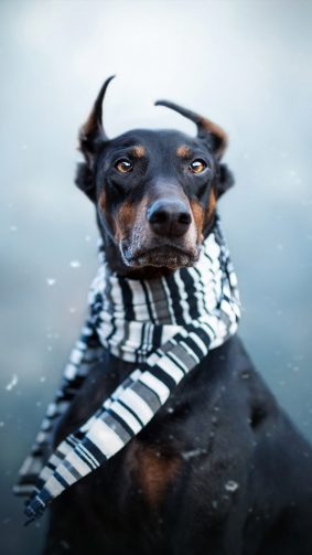 Doberman Pet Dog Winter Scarf 4K Ultra HD Mobile Wallpaper