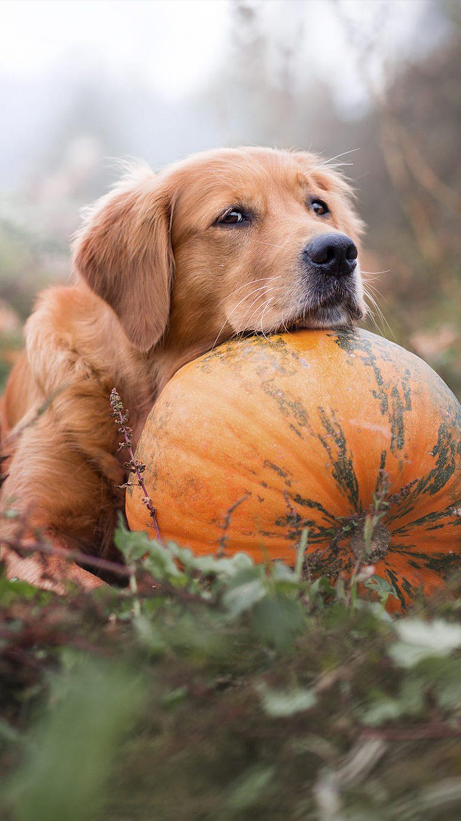Download Golden Retriever Pet Dog Pumpkin Free Pure 4k Ultra Hd