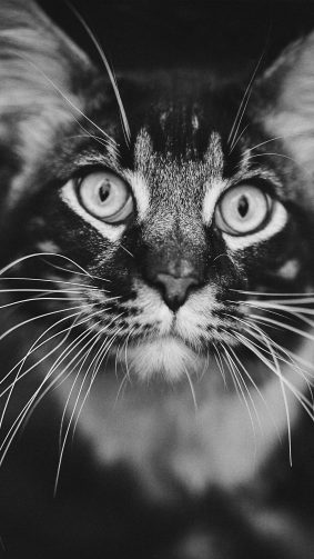 Staring Cat Black & White 4K Ultra HD Mobile Wallpaper