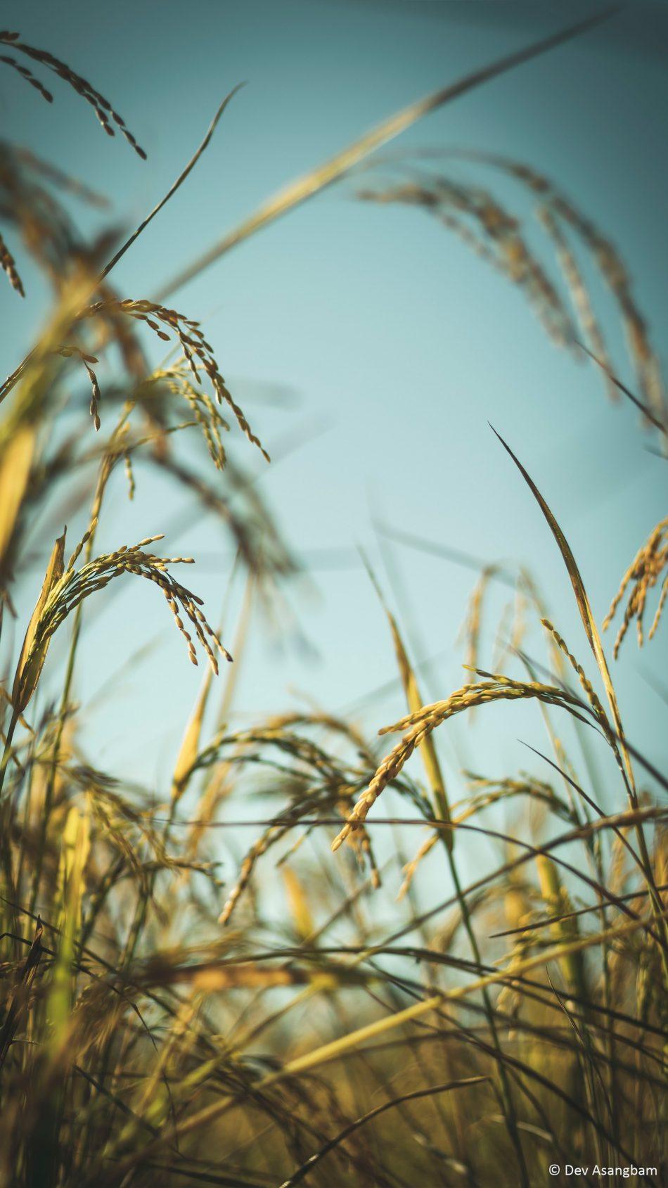 Rice Plants Photography 4K Ultra HD Mobile Wallpaper