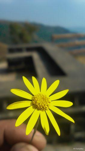 Yellow Flower 4K Ultra HD Mobile Wallpaper