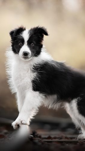 Border Collie Pet Dog 4K Ultra HD Mobile Wallpaper