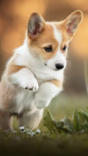 Corgi Puppy Pet Dog 4K Ultra HD Mobile Wallpaper