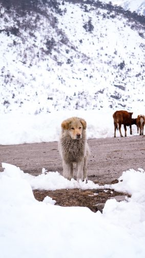 Himalayan Dog Winter Snow 4K Ultra HD Mobile Wallpaper