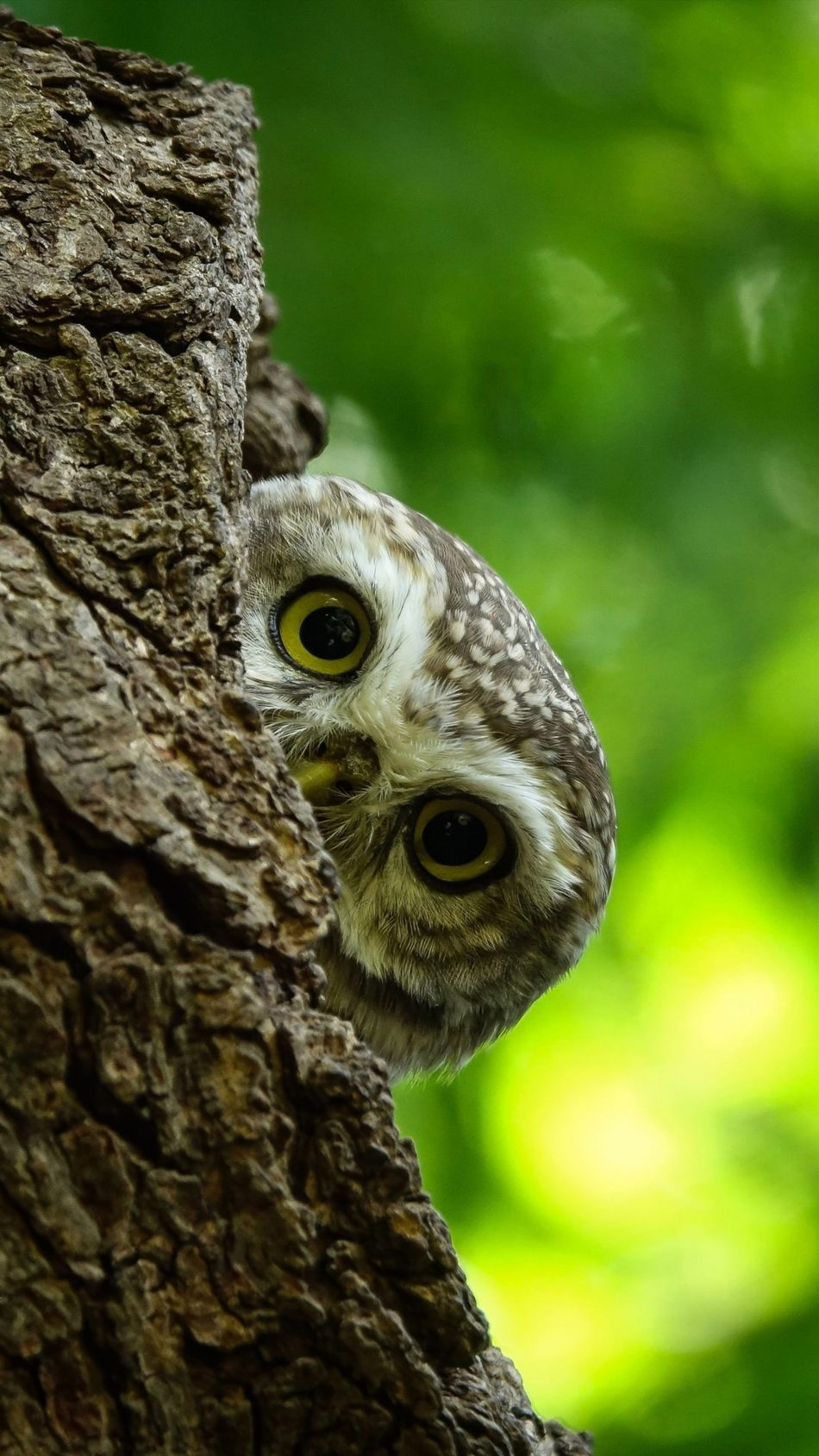 Owl Bird Stare Bokeh 4K Ultra HD Mobile Wallpaper