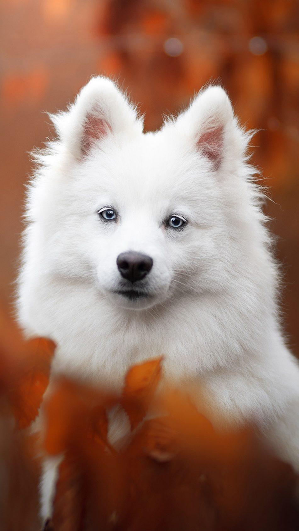 Spitz Pet Dog 4k Ultra Hd Mobile Wallpaper